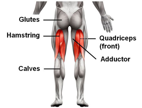 Image result for quadriceps hamstring and adductors